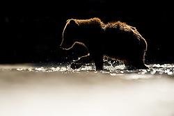 Grizzly bear (Ursus arctos) in Katmai, Alaska