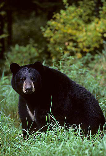 Black Bear, (Ursus americanus) Minnesota, large mature bear sits quietly in grass,pause from grazing