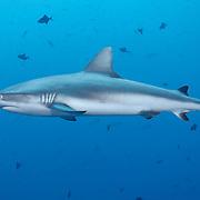 Grey reef shark (Carcharhinus amblyrhynchos) patrolling the reef at Blue Corner dive site in Palau