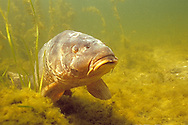 Common Carp, Lake Michigan<br /> <br /> ENGBRETSON UNDERWATER PHOTO