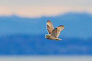 A Short-Eared Owl (Asio flammeus) flies over Boundary Bay in British Columbia, Canada. The Short-Eared Owl has one of the widest distributions of any bird, found on all continents except Australia and Antarctica.