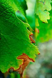 Profilo di una foglia di vite colpita da peronospora. Questa è una foglia tipica di alberello pugliese che produce uva da negramaro. Il vigneto si trova a San Pancrazio Salentino in provincia di Brindisi.