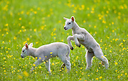 Lambs in a meadow in The Cotswolds, Gloucestershire