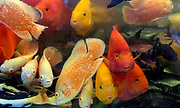 Blood parrot cichlids and other fishes on display at Goldfish Market, Hong Kong.