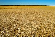 wheat field<br /> Fairlight<br /> Saskatchewan<br /> Canada