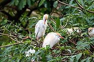 Cattle egret-Héron garde-boeufs<br /> (Bubulcus ibis), Hluhluwe-Umfolozi parc, Kwazulu-Natal, South Africa.