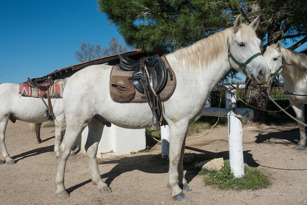 White saddled Camargue stallion wearing bridle and bit, standing at hitching post in the Camargue region of southern France.<br /> Two more horses are seen in the background under a clear blue sky.