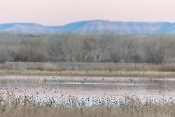 Snow geese in marsh at dusk, Bosque del Apache, National Wildlife Refuge, New Mexico, USA.