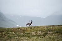 Reindeer against misty mountain landscape, Kungsleden trail, Lapland, Sweden