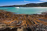 Kelp at Dummies Beach, Catlins, New Zealand