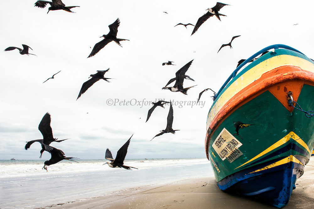 Frigates With Boat (Fregata magnificens)<br /> Crucita<br /> Manabi<br /> Ecuador<br /> South America