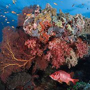 Bright red sabre squirrelfish (Sargocentron spiniferum) peeking out from underneath a large, healthy coral formation on Carl's Ultimate dive site in the Eastern Fields of Papua New Guinea