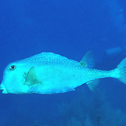 Trunkfish generally swim above a variety of habitats from reefs to sea grass beds Tropical West Atlantic; picture taken Nassau, Bahamas.