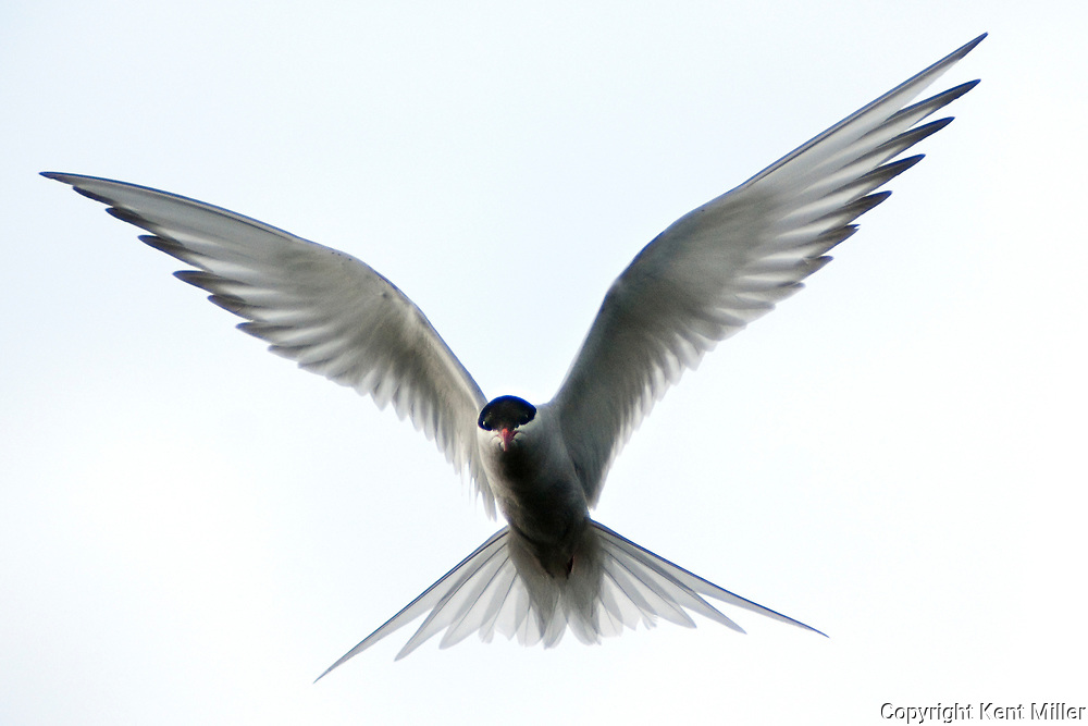 An arctic tern hovers above a kettle pond searching for minnows to feed its young before swooping down into the water to capture them. This one flew several times back to its nest to feed its young at mile marker 79 near the park road.<br />  By Kent Miller<br /> -2009
