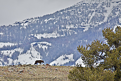 Young Black Wolf from the Druid pack that roams the Lamar Valley in Northeast Yellowstone.