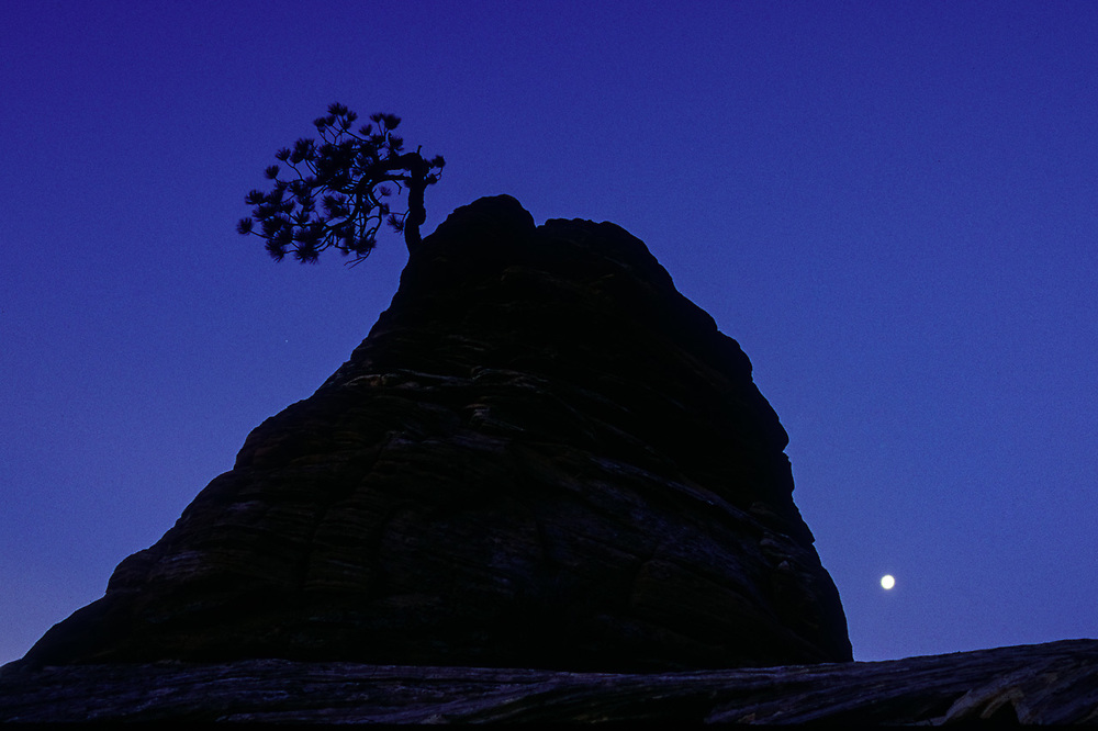 Pine tree perched on a sandstone formatin, moom at twilight, spring, Zion National Park, Utah, USA