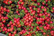 Colorful fruits of red crowberry, also known as diddle-dee or Murtilla de Magallanes (Empetrum rubrum, family Ericaceae). This evergreen species often grows in high altitude areas close to the tree line and can tolerate alpine conditions such as strong winds and high sun exposure. Its fruits are edible. Location: Los Cuernos Refugio & Camping, at the base of the striking cluster of peaks called Los Cuernos del Paine (the Horns of Paine), in Torres del Paine National Park, in Ultima Esperanza Province, Chile, Patagonia, South America. The Park is listed as a World Biosphere Reserve by UNESCO.
