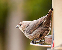 Brown-headed Cowbird (Molothrus ater). Image taken with a Nikon 1 V3 camera and 70-300 mm VR lens.