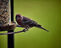 House Finch Image taken with a Nikon D5 camera and 600 mm f/4 VR telephoto lens (ISO 320, 600 mm, f/4, 1/640 sec)