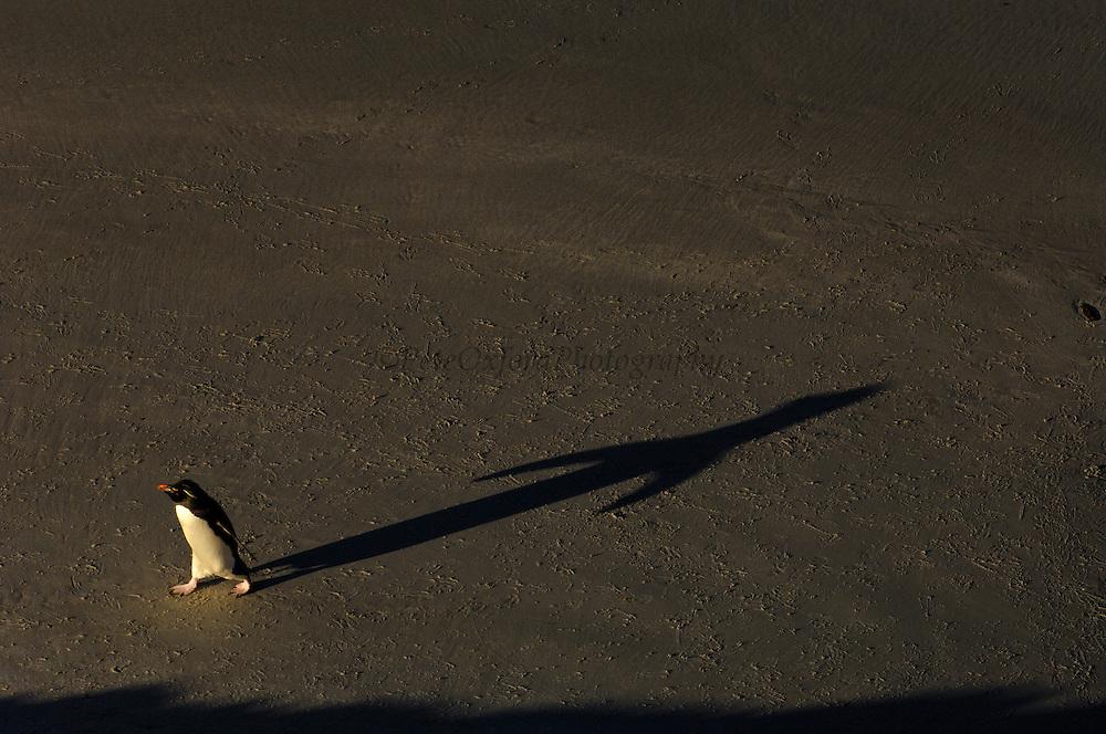 Pete OXFORD, Rockhopper Penguin, BIRDS,<br /> Julio Zaldumbide 506 y Toledo, Quito, Ecuador, South America.<br /> Tel: 593-2-2226958      Mail: pete@peteoxford.com<br /> <br /> Rockhopper Penguin (Eudyptes chrysocome chrysocome) on the beach making its way back to the colony.<br /> FALKLAND ISLANDS.