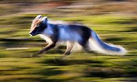 Arctic Fox, Alopex lagopus, Spitsbergen, Svalbard