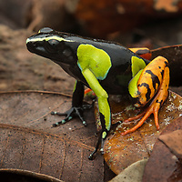 Baron's Mantella (Mantella baroni). Like little jewels of the forest floor, the wonderfully colorful Mantella frogs (family Mantellidae) comprise 16 known species, all of which are endemic to Madagascar. Although unrelated, Mantellas show remarkable convergence with Central and South America's poison dart frogs (family Dendrobatidae), and share a number of common features including skin toxicity (acquired from their diet, primarily ants), diurnal behavior, and bright warning colorations. Mantadia National Park, Madagascar.