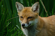 Red Fox (Vulpes vulpes)<br /> Secret World Wildlife Rescue Center<br /> Somerset<br /> England<br /> UK<br /> captive