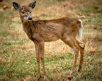 Scraggly yound doe. Image taken with a Fuji X-T2 camera and 100-400 mm OIS lens (ISO 200, 400 mm, f/5.6, 1/110 sec).