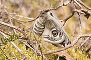 Emperor moth (Saturnia pavonia) female freshly emerged, inflating her wings. Surrey, UK.