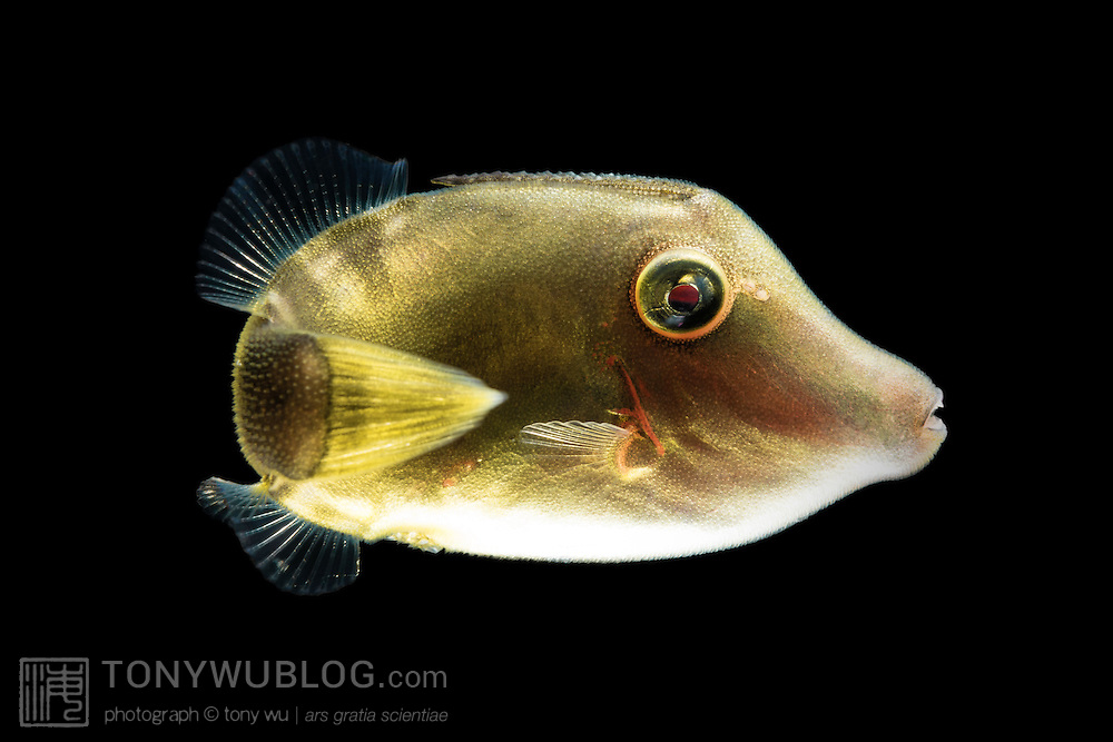 Juvenile triggerfish (Balistidae) encountered over deep water during a blackwater night dive in Palau. Approximately 4cm in length.