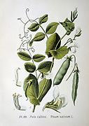 Culinary Pea (Pisum sativum): From A Masclef 'Atlas des Plantes de France', Paris, 1893.