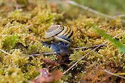 Cepaea hortensis or White lipped snail photographed at Cahercommaun in the Burren, Co. Clare, Ireland