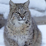 Bobcat, (Lynx rufus) Portrait. Winter.  Captive Animal.