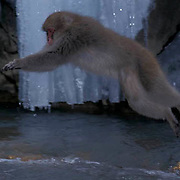 Snow Monkey or Japanese Red-faced Macaque, (Macaca fuscata) Jumping into hot springs. Japan