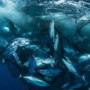 A school of tuna (Katsuwonus pelamis) is captured in a fishing net.
