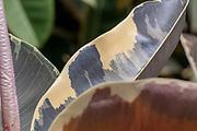 Multi colored Ficus leaf of the Ficus elastica (rubber tree) var Sylvie plant closeup