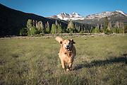Dog (golden retriever) running through meadow in the Eastern Sierra Nevada, Humbolt-Toiyabe National Forest, California