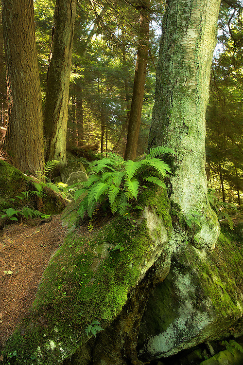 """Ferns, mossy boulders and tall trees in McConnells Mill State Park, Pennsylvania, US, make the rugged trail scenic and beautiful.<br /> <br /> Available sizes:<br /> 18"""" x 12"""" print or canvas print<br /> <br /> See Pricing page for more information.<br /> <br /> Please contact me for custom sizes and print options including canvas wraps, metal prints, assorted paper options, etc. <br /> <br /> I enjoy working with buyers to help them with all their home and commercial wall art needs."""