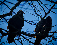 Turkey Vultures in a tree. Image taken with a Fuji X-T2 camera and 100-400 mm OIS lens (ISO 200, 400 mm, f/6.4, 1/1000 sec)