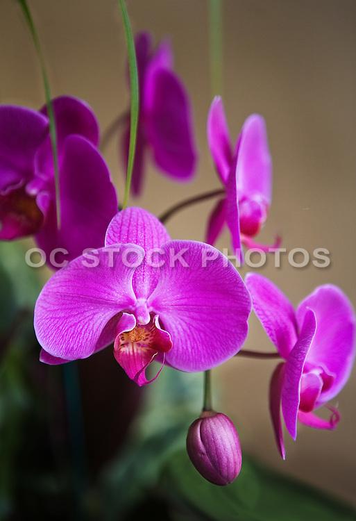 Purple Orchids Closeup