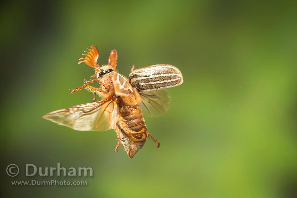 Ten-lined June beetle (Polyphylla decemlineata) photographed in flight in Central Oregon. © Michael Durham