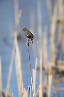 Female Red-winged Blackbird (Agelaius phoeniceus) perched on cattails, Annapolis Royal Marsh, French Basin trail, Annapolis Royal, Nova Scotia, Canada
