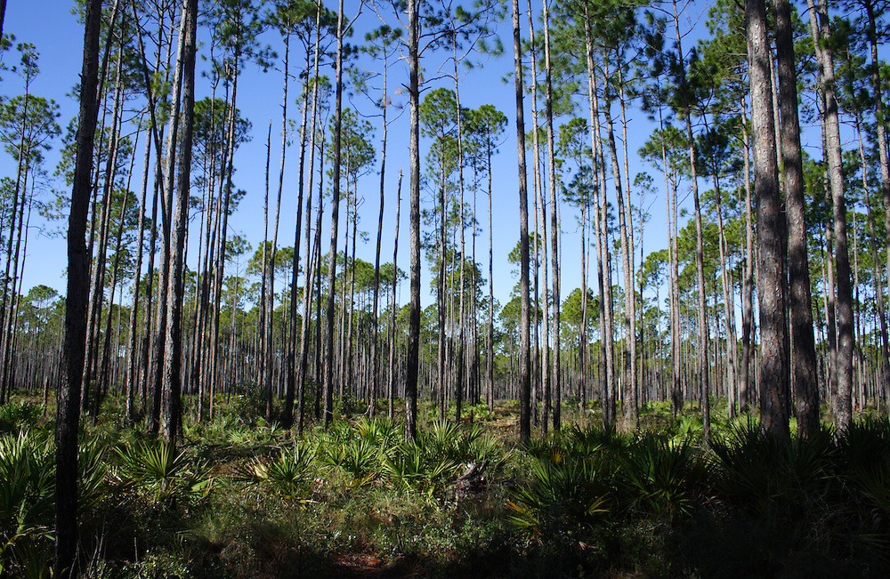 Sand Pines, Tate's Hell Swamp, Florida