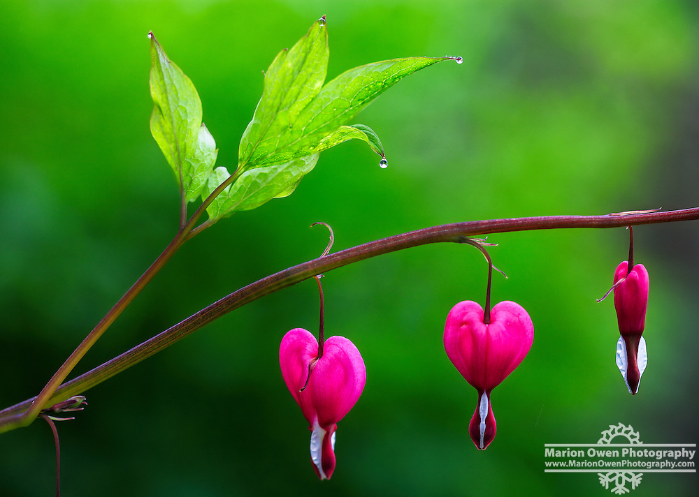 Bleeding heart flowers in Kodiak, Alaska garden