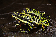 Harlequin frog (Atelopus sp. spumarius complex)<br /> CAPTIVE<br /> Amazon region of SE<br /> ECUADOR. South America<br /> RANGE: Ecuador<br /> Amazon Basin<br /> Critically endangered<br /> New undescribed species