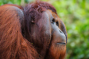 Side profile view of a dominant flanged male orangutan (Pongo pymaeus) , Tanjung Puting National Park, Central Kalimantan, Borneo, Indonesia