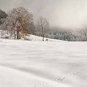Winter landscape with unidentified trees and hare tracks in the foreground