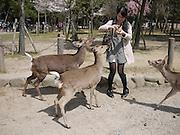 Japan, Honshu, Nara, Todai-Ji Temple woman feeds the resident deer