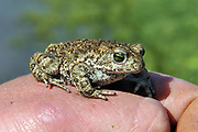 The Natterjack Toad is found in County Kerry.<br /> Photo Don MacMonagle