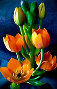 Sun Star, spring flower
